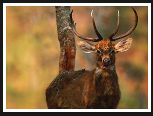 Brow-Antlered Deer, India