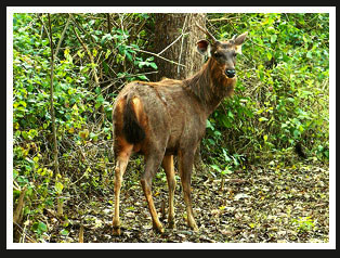 Sambhar Deer, India