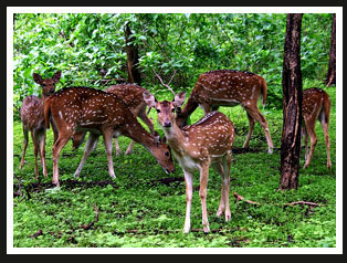 Spotted Deer, India